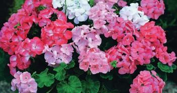 Какие цветы у Овнов?
