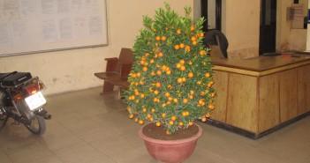 К чему дарят апельсиновое дерево
