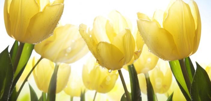 К чему дарят жёлтые тюльпаны