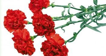 Цветы к чему дарят гвоздики